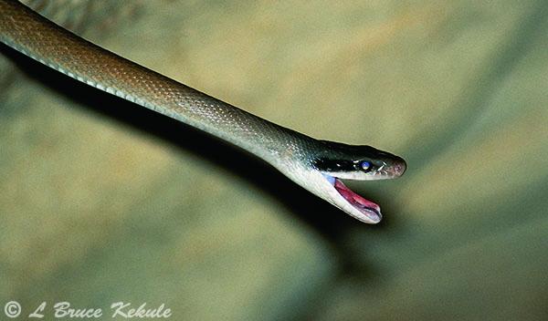 Cave-dwelling snake in Sai Yok NP