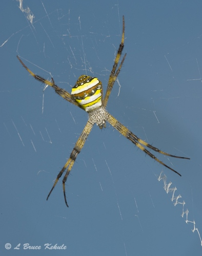 St. Andrews cross spider in Chiang Mai