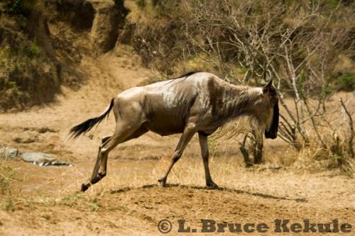 Wildebeest on the run up from the Mara River, Maasai Mara