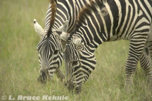 Zebras grazing in Sweetwaters