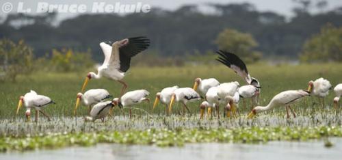 Painted storks in lake Nakuru