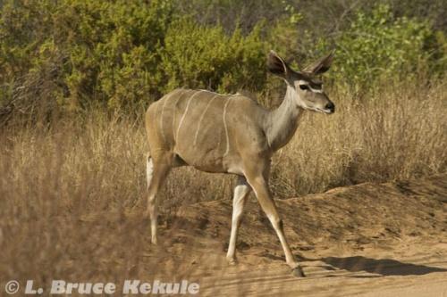 Kudu cow in Samburu