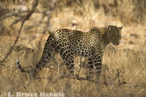Mother leopard in Samburu