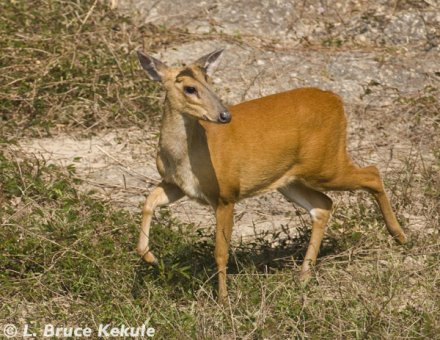 muntjac-doe-in-huai-kha-khaeng