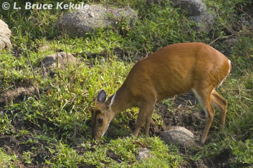 Muntjac in Huai Kha Khaeng