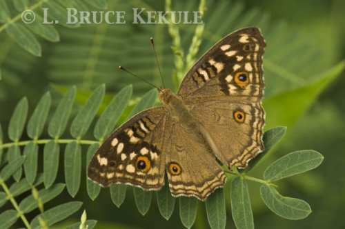 Brown pansi butterfly Phu Khieo Wildlife Sanctuary