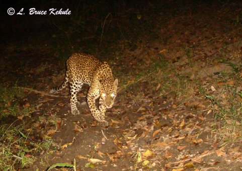 Asian leopard in Huai Kha Khaeng