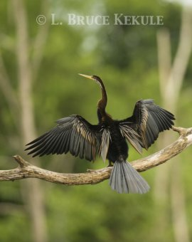 Oriental darter in Phu Khieo Wildlife Sanctuary