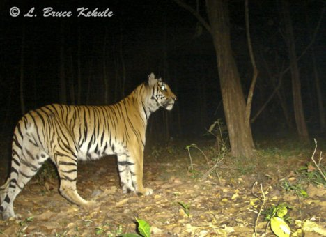 Tiger female in Safapha
