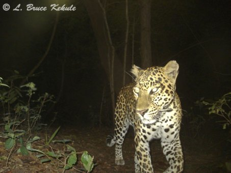 Male leopard on trail caught by W55/SSII
