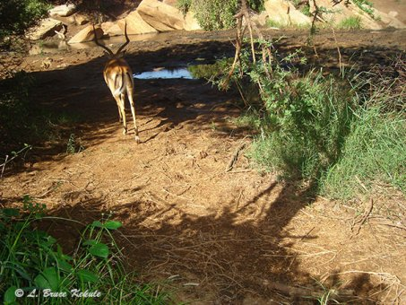Impala camera trapped in Kenya 2012