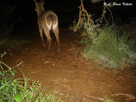 Waterbuck camera trapped in Kenya, Africa 2012