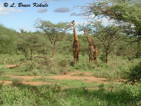 giraffes-in-tsavo-west