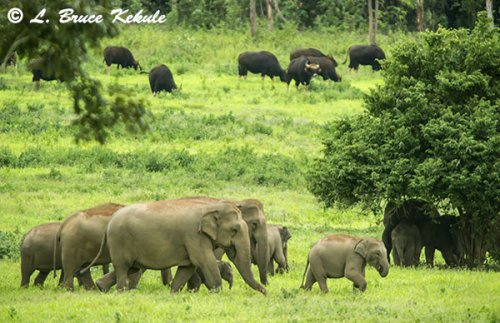 Elephants and gaur in Kuiburi