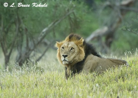 Black-maned lion in Taita Wildlife Sanctuary; Kenya; Africa