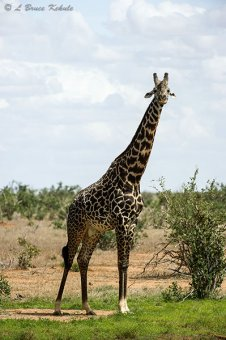 Giraffe male in Tsavo (West) NP