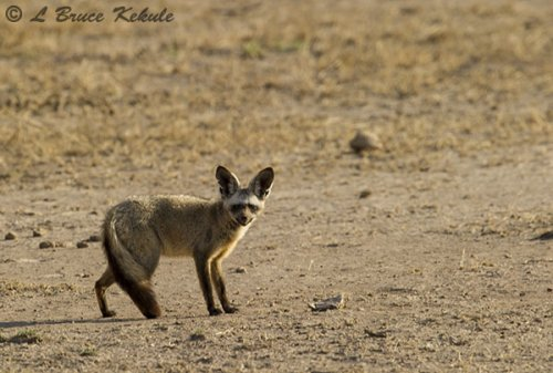 Bat-eared fox 1
