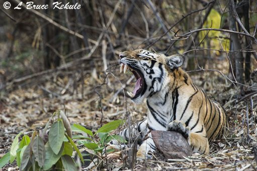 Tiger posing near the road in Tadoba