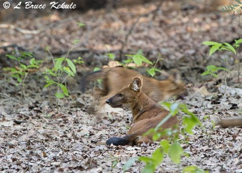 Wild dogs at Tadoba