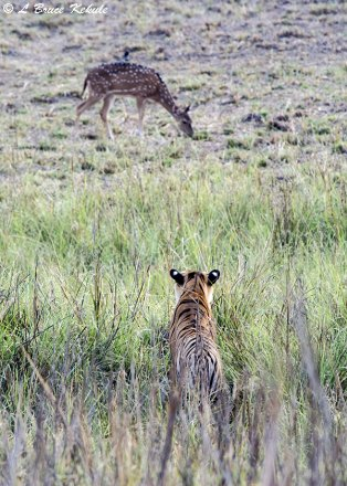 Tiger cub stalking a spotted deer at the lake in Tadoba