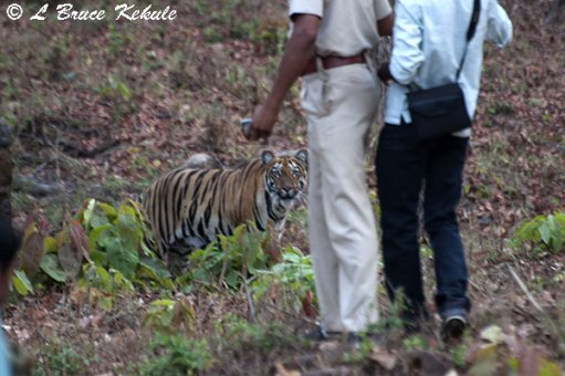 Tiger cub posing for forest officials near the road in Tadoba