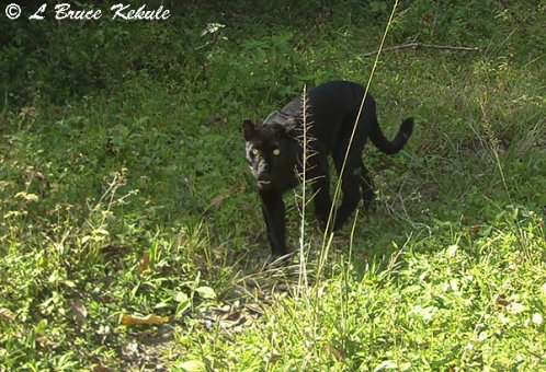 Black leopard at Kabook Kabieng hot springs