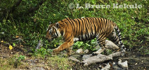 Indochinese tiger in Huai Kha Khaeng