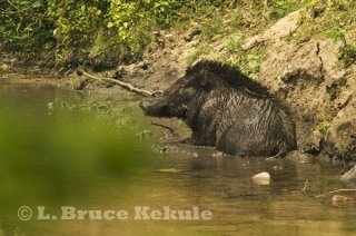 Wild pig wallowing in mud