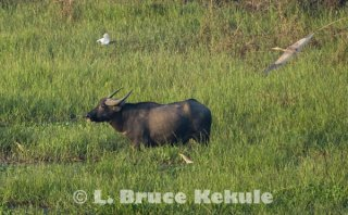 Wild water buffalo bull and herons