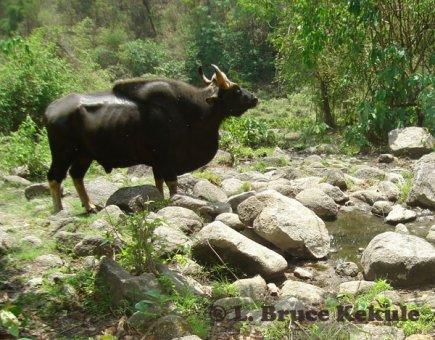 Gaur Bull in Huai Kha Khaeng Wildlife Sanctuary. Mature bull gaur at water ...