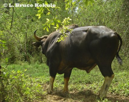 Gaur bull in Thung Yai Naresuan Wildlife Sanctuary