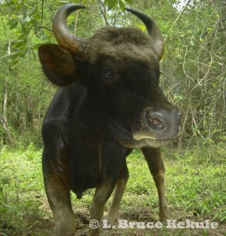 Gaur cow in Thung Yai Naresuan Wildlife Sanctuary
