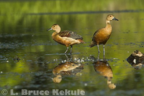 Lessor Whistling ducks in Khao Ang Rue Nai
