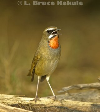 Siberian rubythroat in Beung Boraphet
