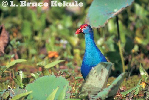 Purple swamphen in Beung Boraphet
