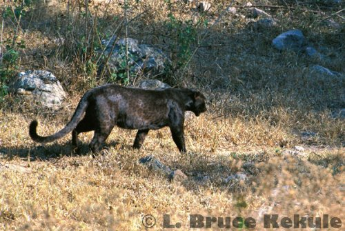 Black leopard in the afternoon sun