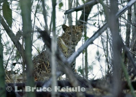 Leopard in bamboo in Huai Kha Khaeng
