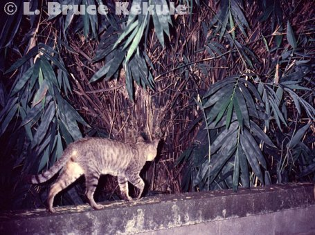 feral-cat-at-home-in-chiang-mai-w