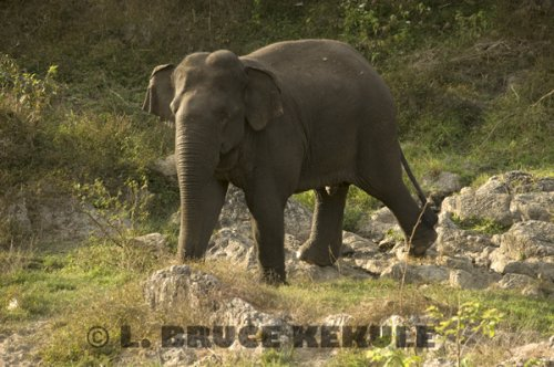 Tuskless-bull-elephant
