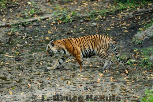 385__500x340_indochinese-tiger-1-hkk-w.j