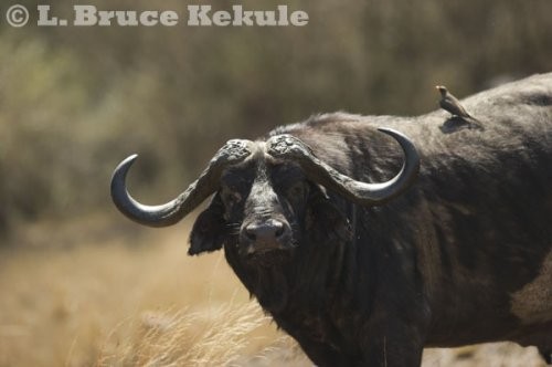 Cape buffalo in the Maasai Mara
