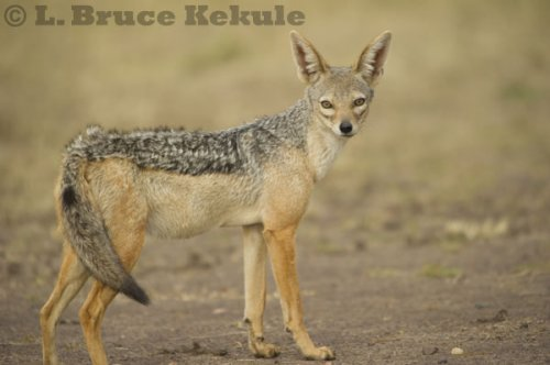 African black-backed jackal in Maasai Mara in Kenya