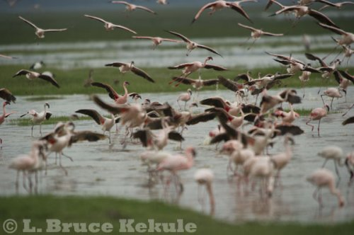 Flamingos at Lake Nakuru, Kenya