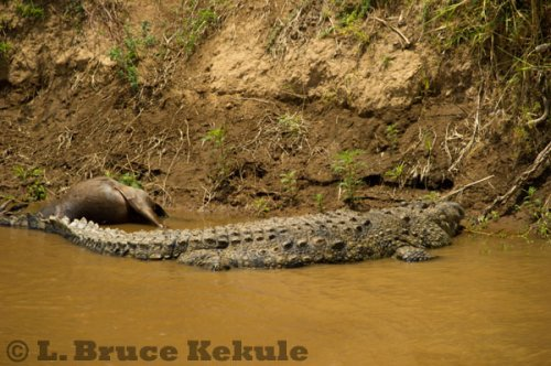 Crocodile and wildebeest carcass in Maasai Mara