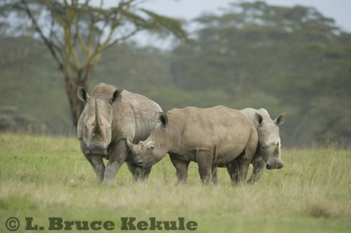 White rhinos at Lake Nakuru