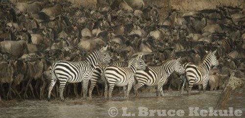 Zebra & wildebeest by the Mara River, Kenya