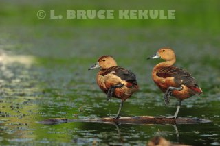 Lessor-whistling-ducks