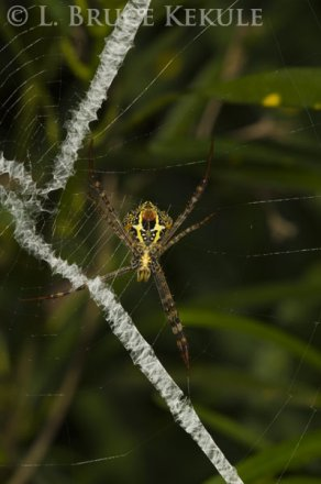 Wasp spider in Thung Yai