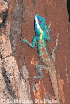 Blue crested lizard in Salak Phra