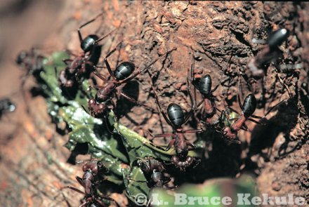 Carpenter ants in Thung Yai